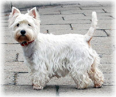 Foto vom west Highland Terrier